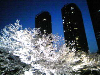 浜離宮の夜桜