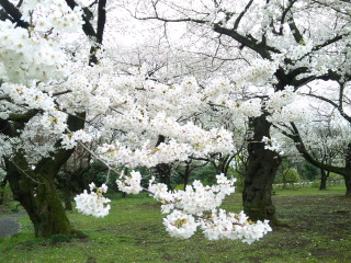 桜満開です♪