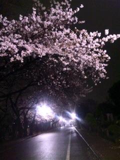谷中の夜桜♪