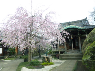 谷中天王寺の桜