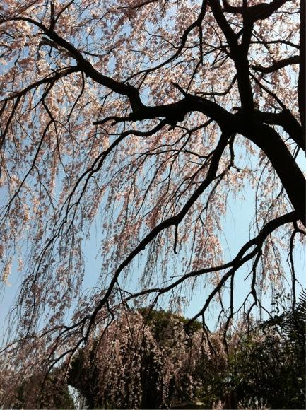 もう一枚、谷中の桜