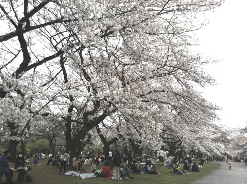 小石川植物園のさくら