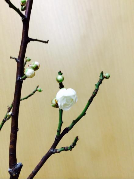 梅、咲きました!